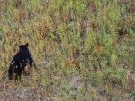 balck-bear-alaska-highway-7