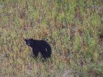 balck-bear-alaska-highway-8