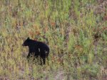balck-bear-alaska-highway-9