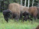 bison-alaska-highway-3