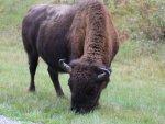 bison-buffalo-alaska-hwy-1