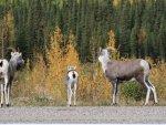 mountain-sheep-alaska-hwy-19
