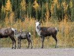 mountain-sheep-alaska-hwy-20