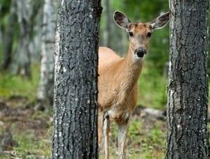 Peek-a-boo Deer in Prince Albert National Park