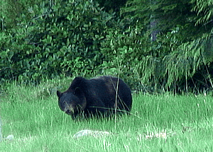 Black Bear in Port Hardy, BC