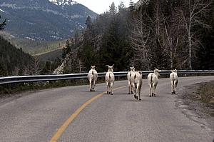 Wildlife Crossing Highway in Alberta
