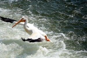 Pelicans of Canada