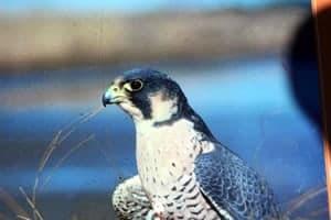 Birds of Prey - Peregrine Falcon