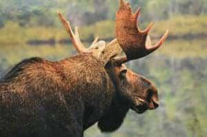 Cabot Trail Moose