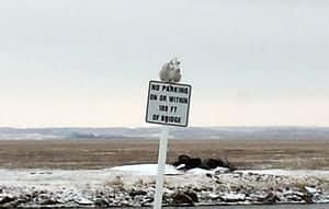 Snowy Owl Sighting