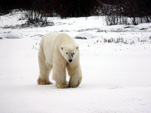 Polar Bear - Churchill Manitoba