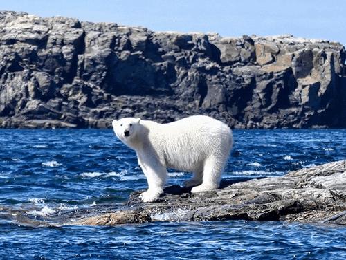 Nunavut Polar Bear
