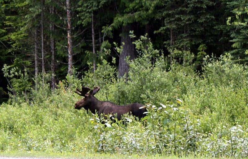 Moose sighting on the Yellowhead Highway