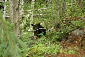 black bear clearwater bc
