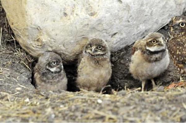 FortWhyte burrowing owls
