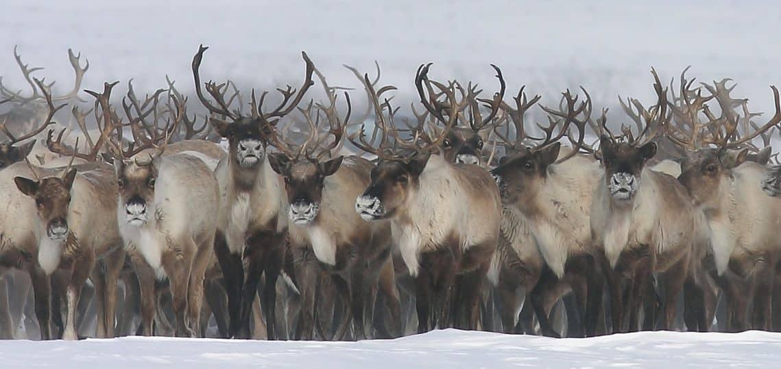 Reindeer Crossing in Inuvik, NWT