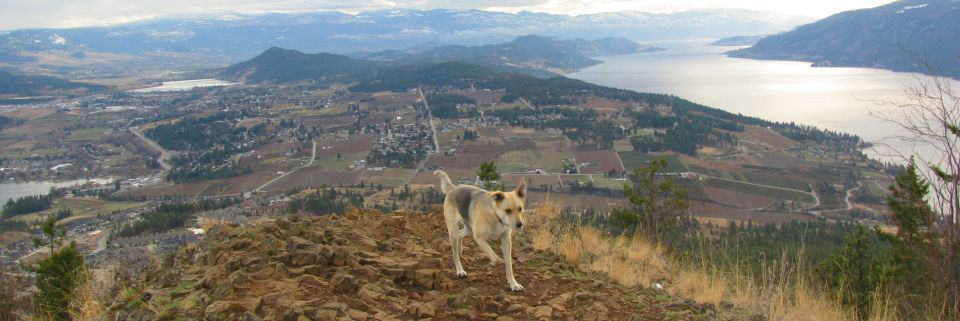 Our dog Enya checking out new trails, Spion Kop Mountain, Okanagan Valley, BC