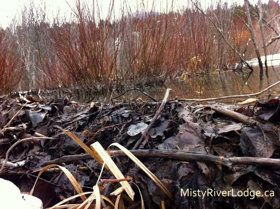 Beaver dam in the wetlands near Radium Hot Springs