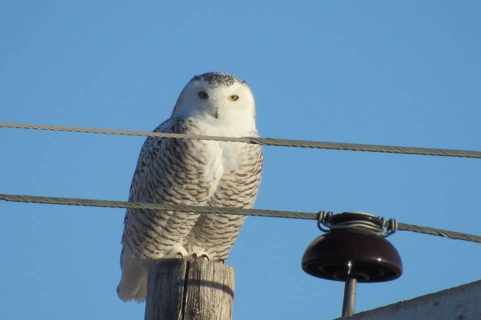 Likely a female snowy owl.  Near Lafleche Saskatchewan.