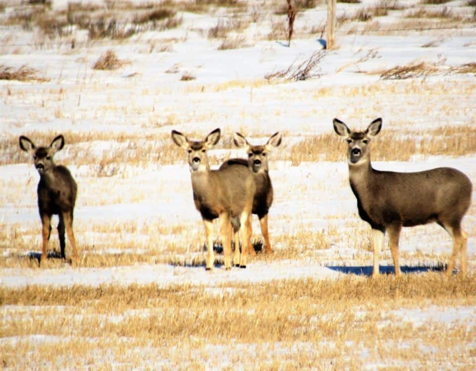 Short stature mule deer near Glentworth Saskatchewan.