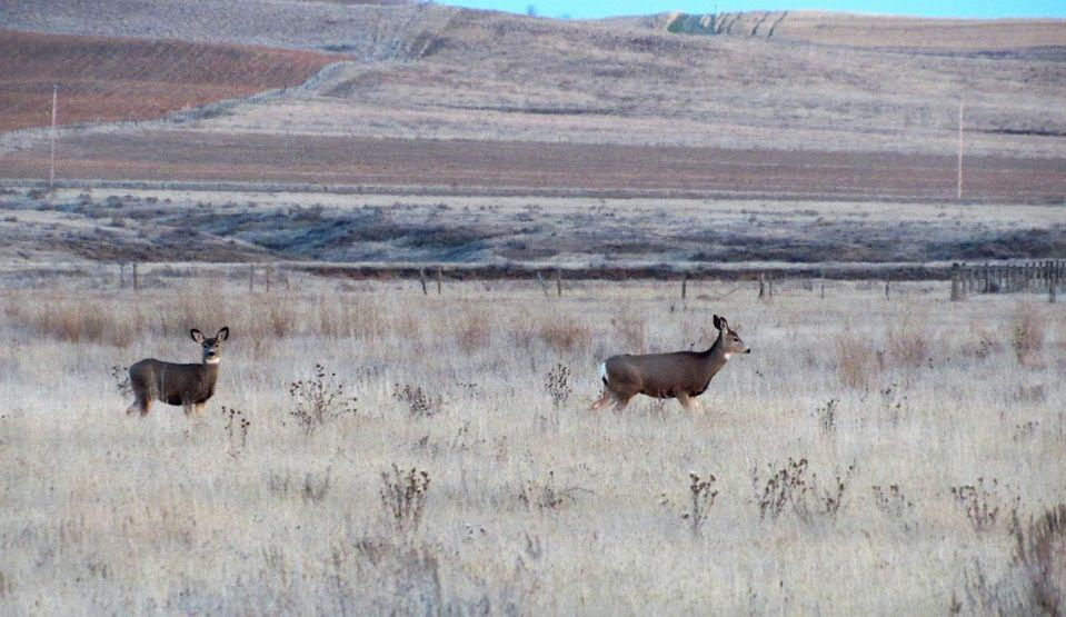 The are a lot of deer in these hills.  Southwest Saskatchewan near Glentworth.