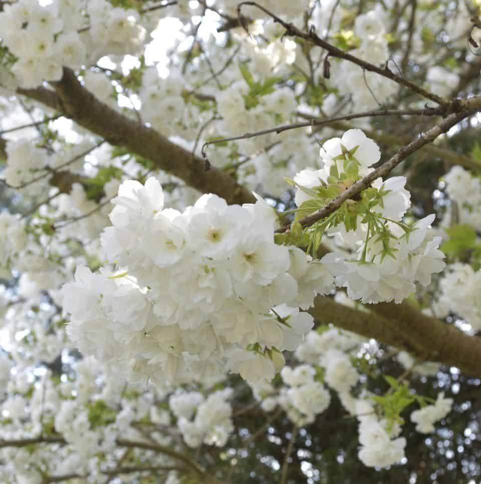 Returning Blossoms reminds us that we too have to refresh and renew in order to move forward.
