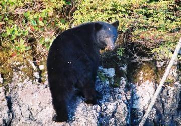 bear-nitinat