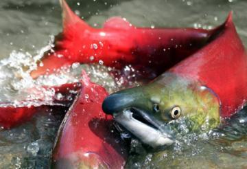 spawning-haig