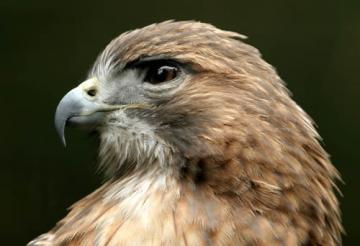 Bird-park-Red_Tail_Hawk