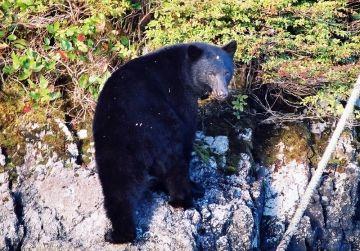 bear-gwaii-haanas