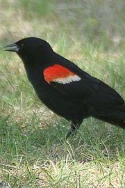 redwing-blackbird-elgin-park-220