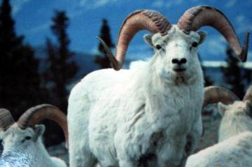 mount_mye_fannin-sheep03