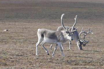 NunavutCaribou