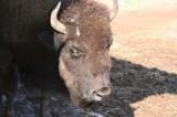buffalo20100903_49