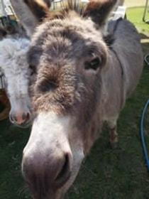 petting-donkey