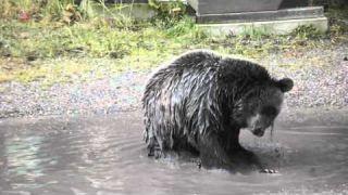 Grizzly Bear Bath!