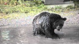 Grizzly Bear Bath!
