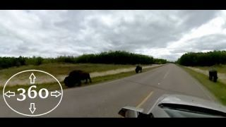 Driving with Bison in Elk Island National Park