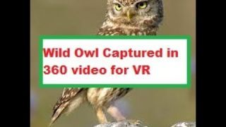 A wild owl in 4k 360 video for viewing in Virtual Reality by This Is Me In VR