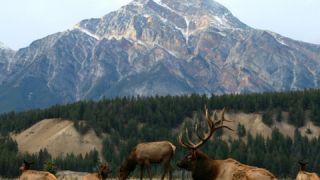 This Is Me wildlife sighting Elk in Jasper Alberta in 4k 360 video for viewing in VR
