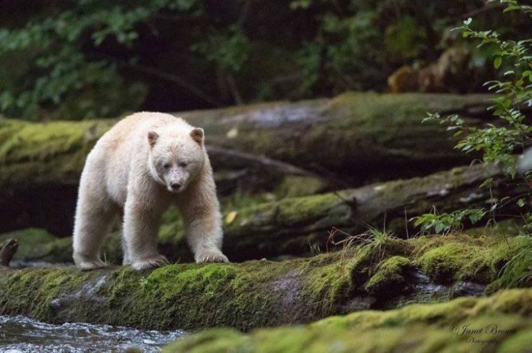 spirit-bear-janet-brown-photogrpahy