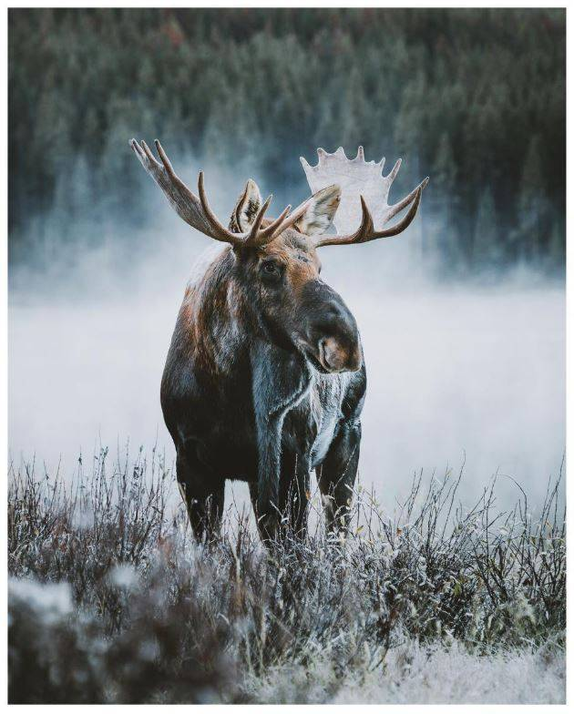 bull-moose-jasper