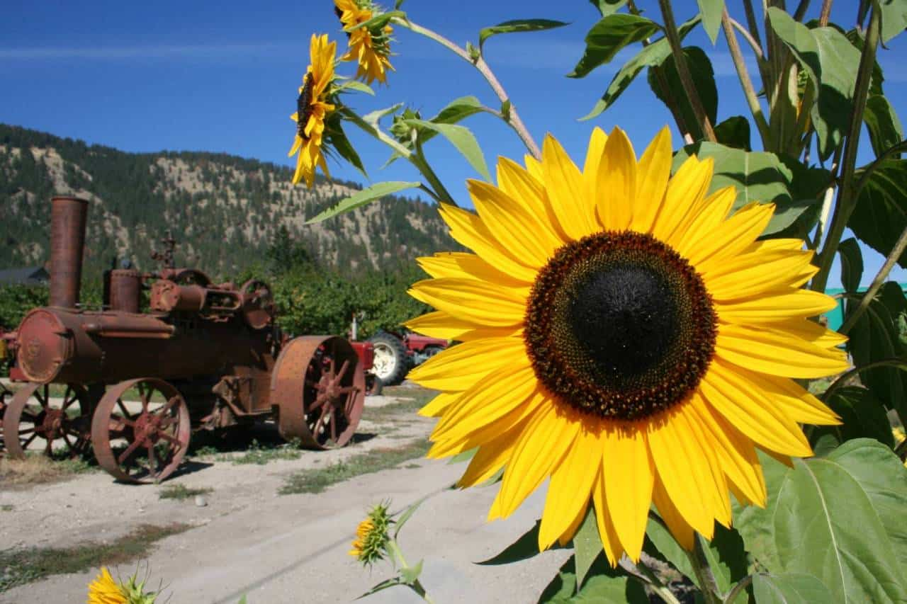 orchards-sunflowers 001