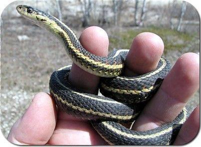 narciss snake dens