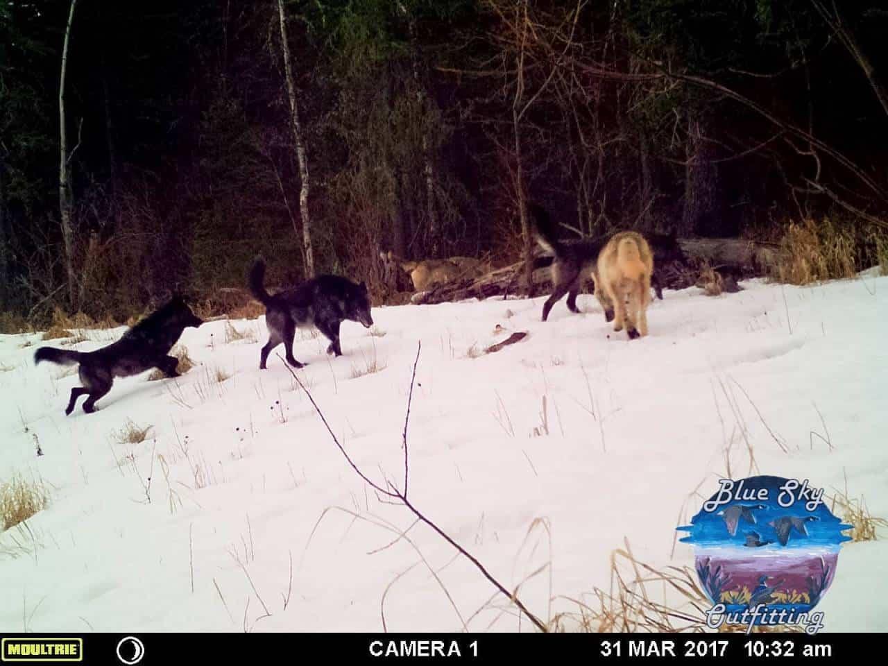 Wolf 2018-12-17