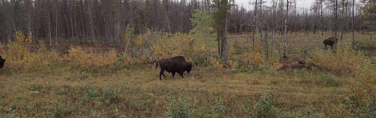 Woodland Bison  2018-12-17