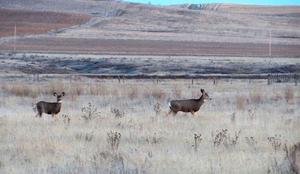 e89a91d96c509a6543829815.jpg - The are a lot of deer in these hills.  Southwest Saskatchewan near Glentworth.