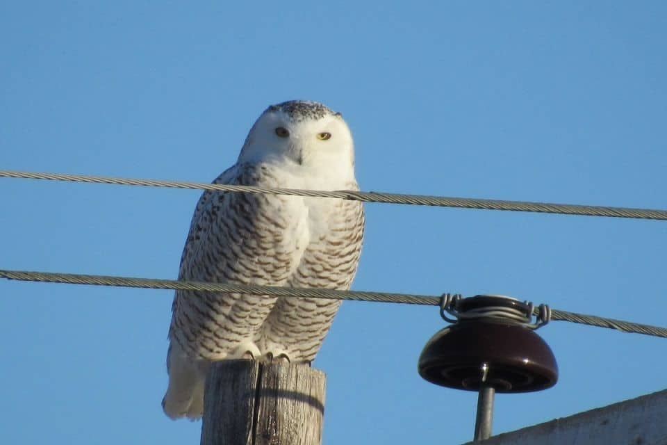 461e015b7ce49ffa8c155656.jpg - Likely a female snowy owl.  Near Lafleche Saskatchewan.