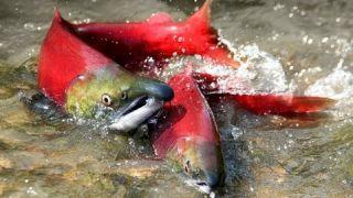 Salmon Confidential Documentary 2013 British Columbia