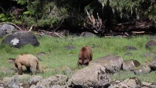 Grizzly Bears of Glendale Cove